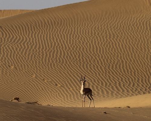 Chinkara at dune