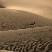 Rare photo of Chinkaras at Dune